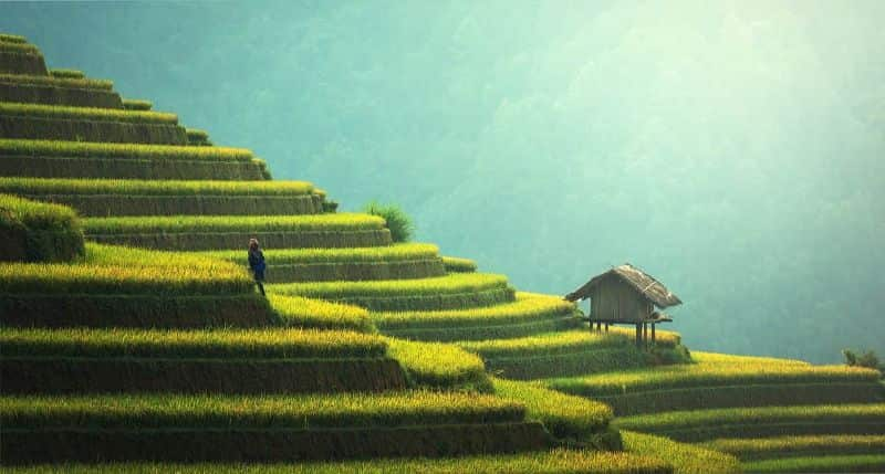 National agriculture day,                 agriculture rice plantation thailand                barley getreideanbau barley cultivation                cereals field ripe