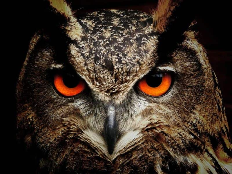 birds owl bird eyes