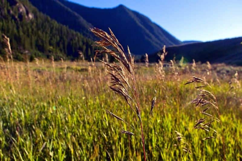 madison canyon grass seed