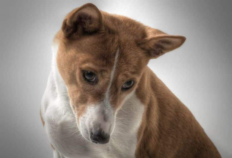 National sorry day,                 dog basenji hundbild