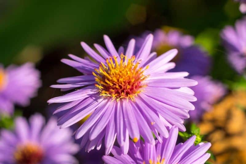National trivia day,                 flower aster trivia                flower summer trivia                flower aster trivia