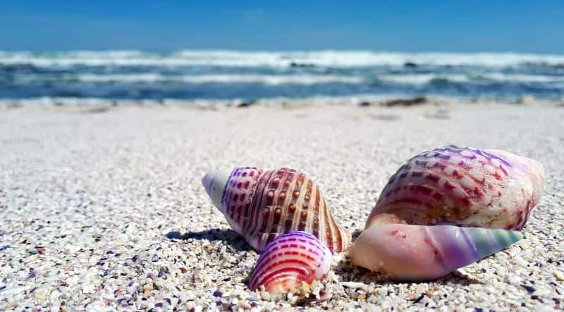 unicorn seashell shell shells